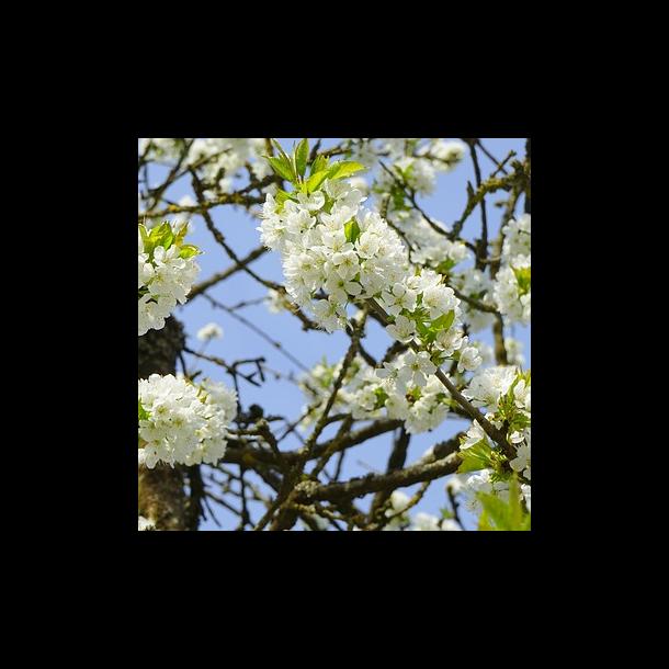 Kirsebærtræer - 10 stk. Barrod, 2-års
