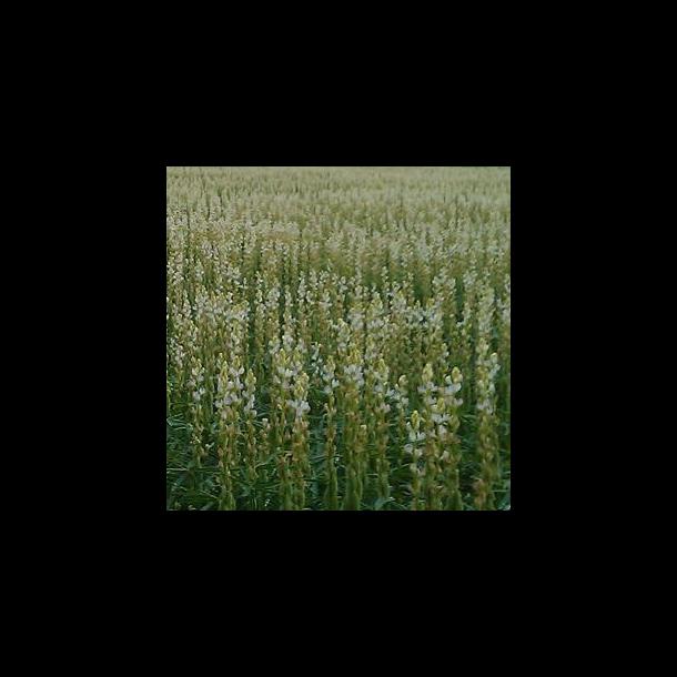 Smalbladet lupin - 15 kg