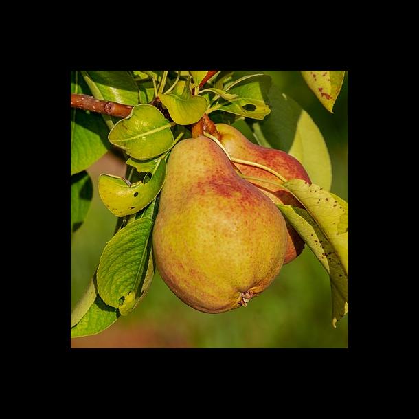 Pæretræer - 10 stk. Barrod, 2-års